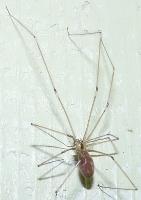 araignée faucheuse