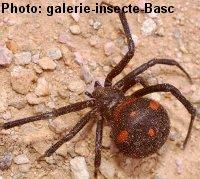 araignée : Latrodectus tredecimguttatus