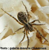 araignée : Lycosa narbonensis