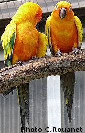 le pou rouge attaque les oiseaux