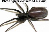 araignée : Segestria florentina