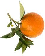 Orange amère ou Petit grain bigarade - Citrus aurantium ssp amara