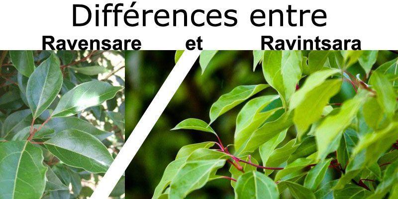 différence entre le Ravensare et le Ravintsara