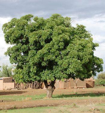 Vitellaria Paradoxa - Arbre à karité