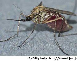 Culex pipiens femelle gorgée de sang