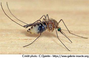 Le moustique culex. Un Vecteur de maladies