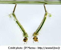 Larves de Culex sp. respirant sous la surface de l'eau