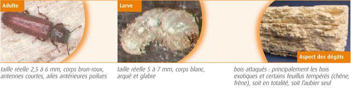 Lyctus brunneus - Lycte brun