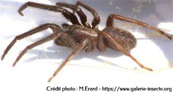 L'araignée : Segestria florentina