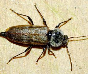 insectes de nos maisons penntybio. Black Bedroom Furniture Sets. Home Design Ideas