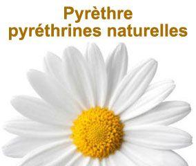 Pyrèthre ou pyréthrines naturelles, un insecticide végétal