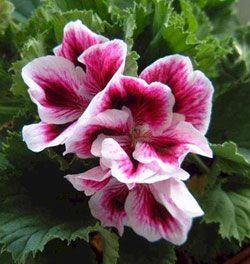 Le géraniol est extrait entre autres des fleurs de Géranium