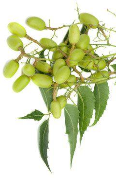 Graine de margousier (azadirachta indica)