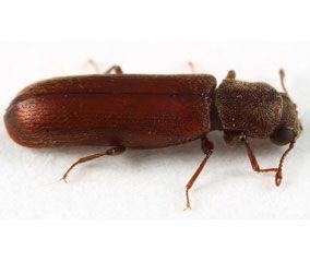 petites insectes rouges