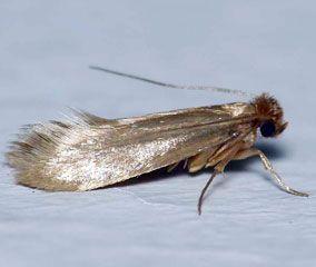 Insectes de nos maisons penntybio - Mite des vetements ...