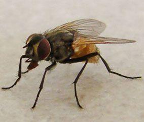 La mouche commune