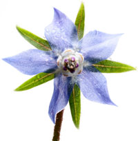 Fleur de bourrache - Borago officinalis