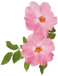 Fleurs de rose musquée