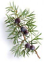 Genévrier - Juniperus communis