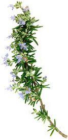 Romarin à camphre - Rosmarinus officinalis L. camphoriferum