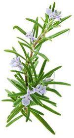 Romarin à cinéole - Rosmarinus officinalis cineoliferum