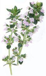Thym à thymol - Thymus vulgaris