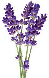 Fleurs de Lavande bio