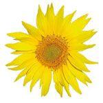 Huiles végétales du roll on Arnica Direct Nature